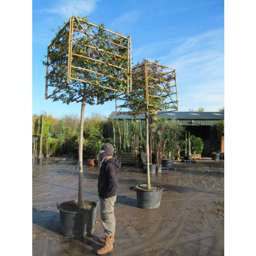Hornbeam Carpinus Betulus 2 metre clear stem 18/20cm girth) 80 x 80 x 80cm cube