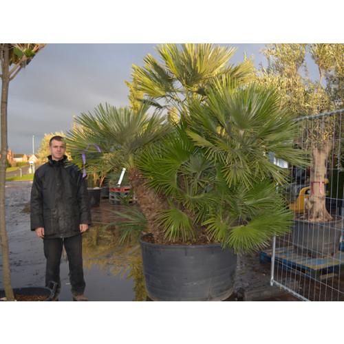 Chamaerops Humilis Fan Palm 300cm / 10ft including pot height