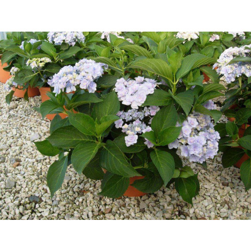 HYDRANGEA MACROPHYLLA (You & Me Forever) Clt.10