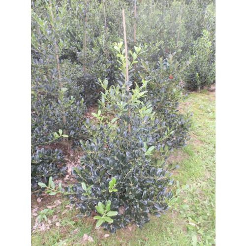 Ilex aquifolia 'J.C. van Tol' 125-150 rootball - AVAILABLE NOW
