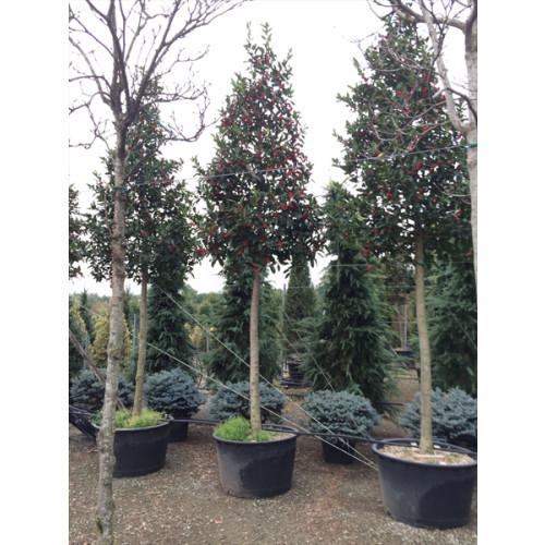 Sweet chestnut holly (Ilex castaneifolia) Std. 25/30cm girth, stem 190/200cm, total height 450/470cm
