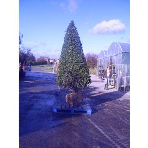 Ilex Aquifolium (Holly) large cone Rootballed 260cm Height does not include rootball