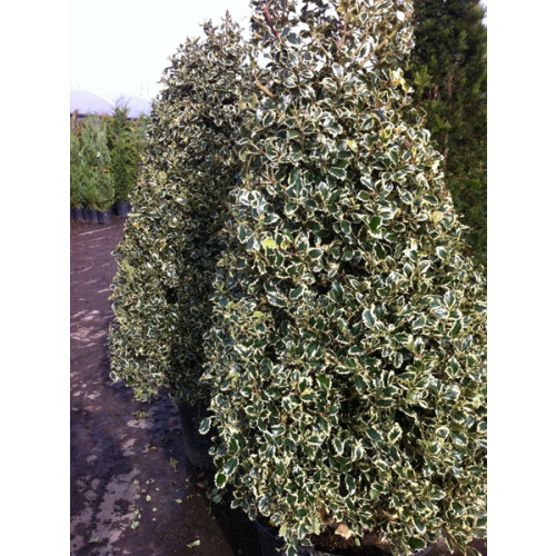 Ilex aquifolium 'Variegata' (variegated Holly) 220cm/7ft 3in including pot height