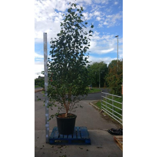 Silver Birch ''Jacquemontii'' (Betula Utilis) 300/350cm not including pot -VERY LIMITED QUANTITY!