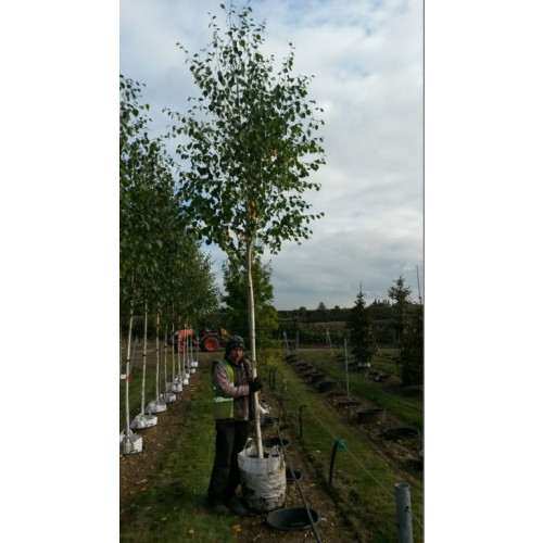 Silver Birch Single stem Betula Jacquemontii 12/14 girth  14ft including pot height