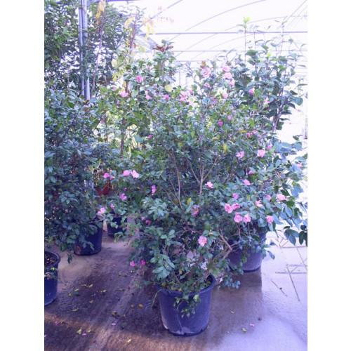 Camelia Sasangua height of bush 150cm includes pot height
