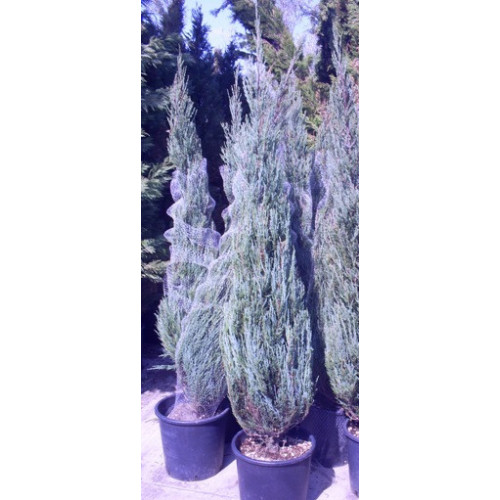 Juniperus Skyrocket pot gown 6ft 6 inches height including pot