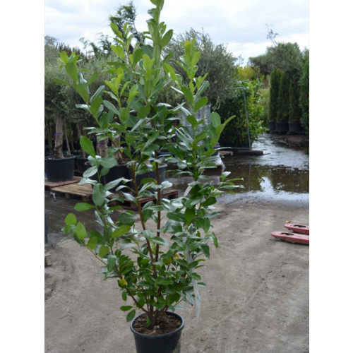 Laurel (Prunus Laurocerasus rotundifolia POTTED 20ltr 1.5 - 1.8 meter Plant height - SOLD OUT - TAKING ORDERS FOR LATE APRIL