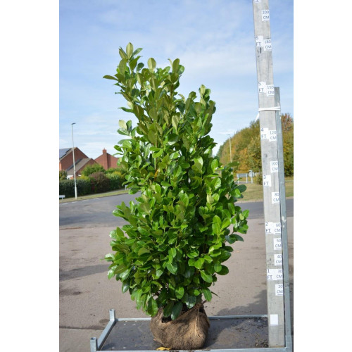 Cherry Laurel Hedging Rootball 1.8-2m (6-6ft 6in) down to as low as £69.90 after 40% discount (minimum order of 20 plants for this price) - SOLD OUT - TAKING ORDERS FOR AUTUMN 2021