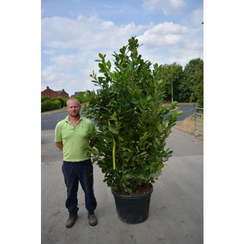 Laurel (Prunus Laurocerasus Rotundifolia) 2-2.3m (6ft 6in - 7ft 6in) in 90lt pot - SOLD OUT - TAKING ORDERS FOR SUMMER 2021