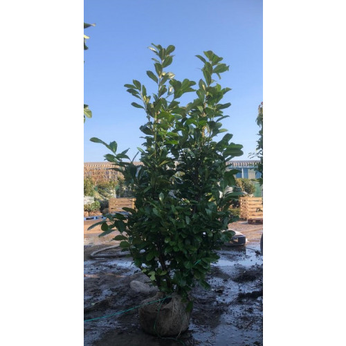 Cherry Laurel Hedging Rootball 2.25 - 2.5m planted height - AVAILABLE NOW