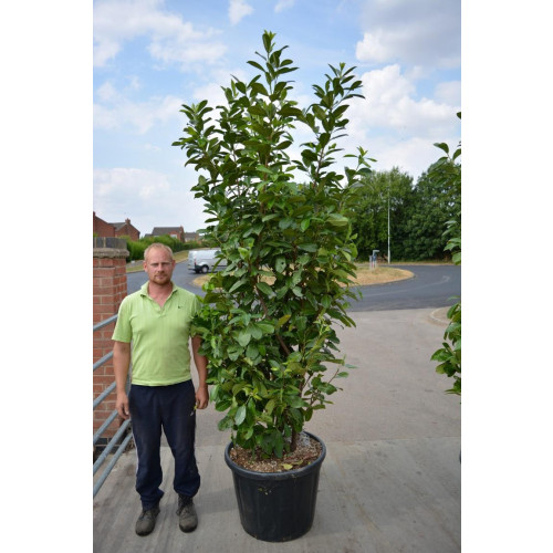 Laurel (Prunus Laurocerasus Rotundifolia) 2.3-2.5m (7ft 6in - 8ft) in 110lt pot - SOLD OUT - TAKING ORDERS FOR SUMMER 2021