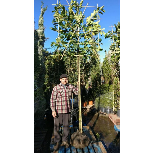 """Prunus L. """"Rotundifolia""""  12-14 Pleached 180-200 cm stem frame 120 wide and 140 high - SOLD OUT UNTIL AUTUMN 2021"""