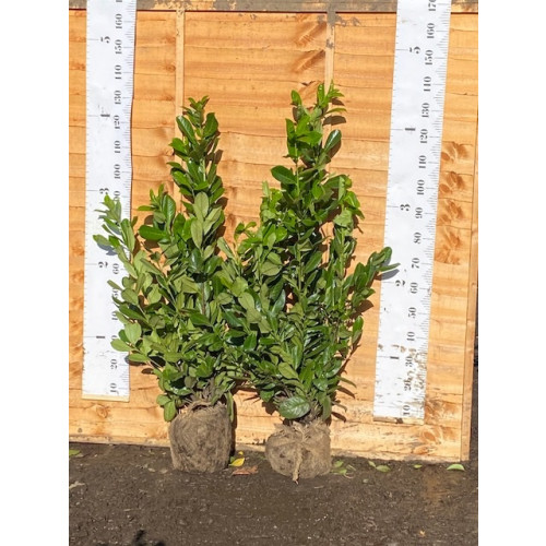 Cherry Laurel Hedging Rootball 1-1.2m (3-4ft) - AVAILABLE NOW