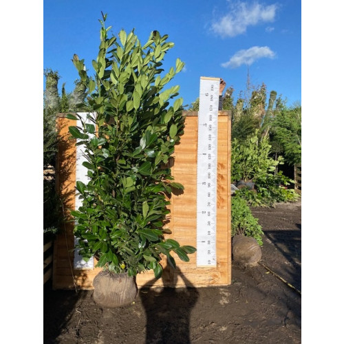 Cherry Laurel Hedging Rootball 2-2.25m (6ft 6in-7ft 4in) - AVAILABLE NOW