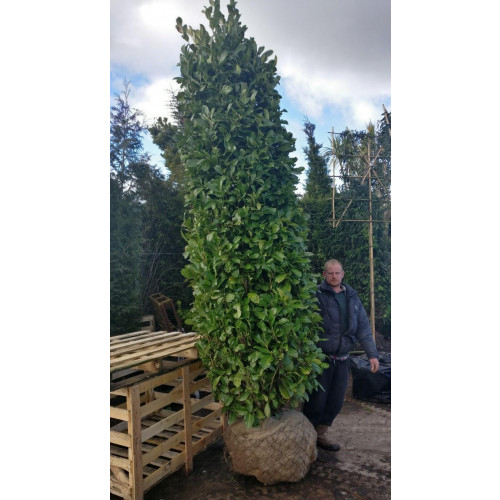 Cherry Laurel Hedging Rootball 3.5 - 4m (11ft 6in - 13ft) 'SOLITAIRE'  - TAKING ORDER FOR EARLY NOVEMBER