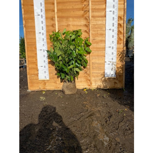 Cherry Laurel Hedging Rootball 80-100cm (2ft 6in-3ft) - AVAILABLE NOW