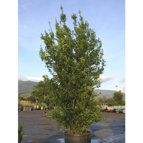 Bay Tree (bush)  Laurus Nobilis massive 400-450cm / 13-15ft including pot height