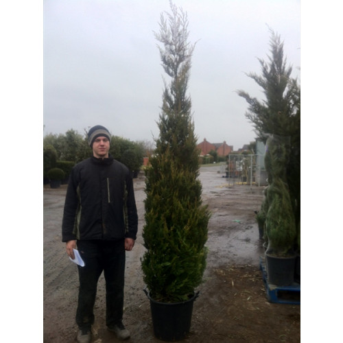 Leylandii Gold 9-10 feet high plant height