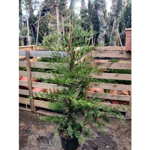 Leylandii Green 100-120cm Plant height  3lt pot