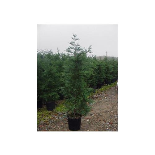 leylandii Green Large 5 - 6ft high plant height