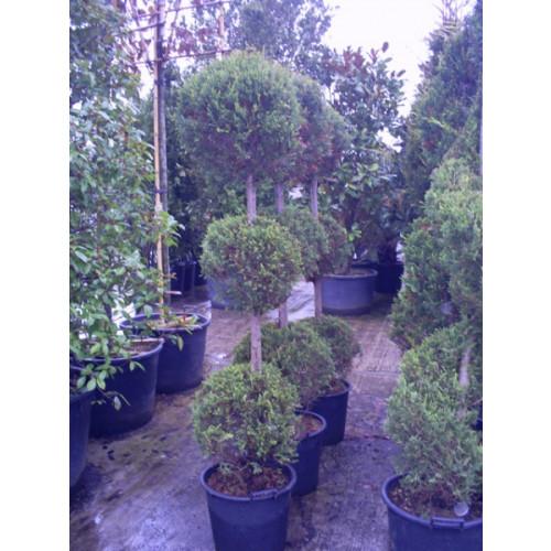 Cupressus Leylandii 3 Ball  200cm / 6ft 6in including pot height