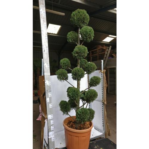 Golden Leylandii 'Pom Pom' 8ft/240cm tall including height of the pot