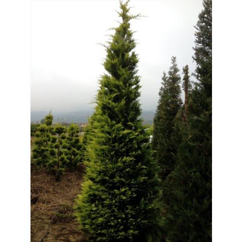 Leylandii 'Gold Rider' 300-350cm (10-11ft) plant height