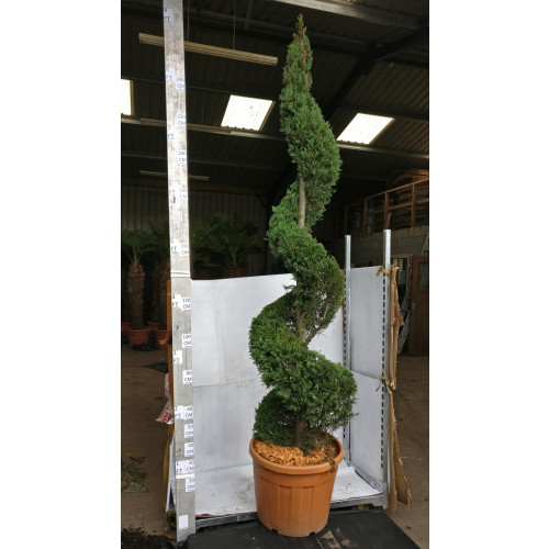 Golden Leylandii Spiral 8ft 6in/250cm tall including height of the pot