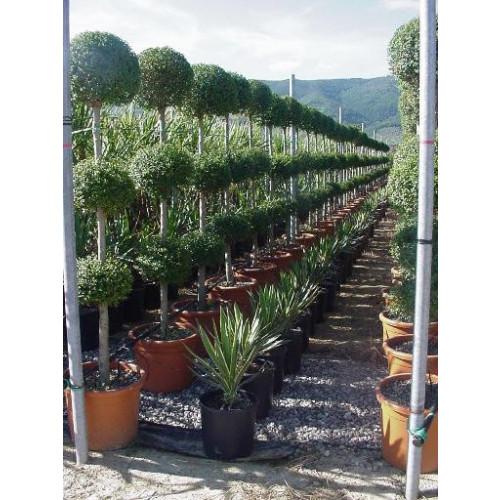 Privet 3 ball Ligustrum Jonandrum 200cm /  6ft 6in high including pot height