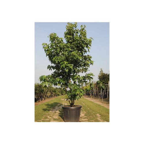 Liquidambar Styraciflua 175-200cm planted height in20lt pot