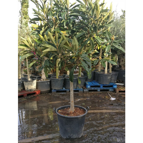 Eriobotrya Japonica Loquat 200-250cm including height of the pot