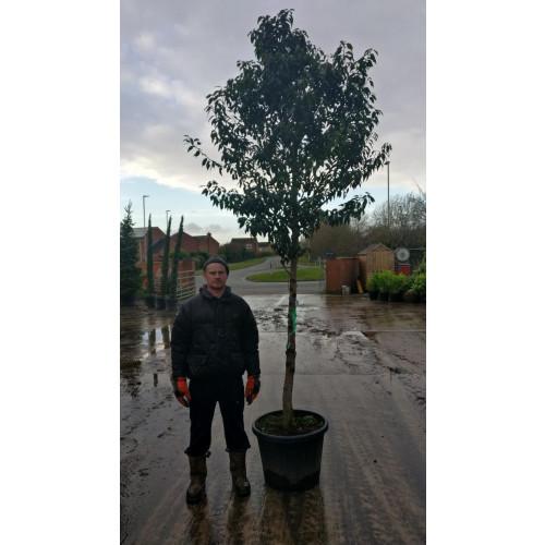 Prunus lusitanica 'Angustifolia' 16-18cm girth total planted height 3 Meters (STEM 1,6M) ,large standard