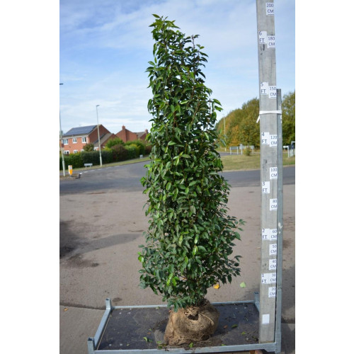 Hedging Prunus Lusitanica rootballed 175 - 200cm plant height - AVAILABLE NOW