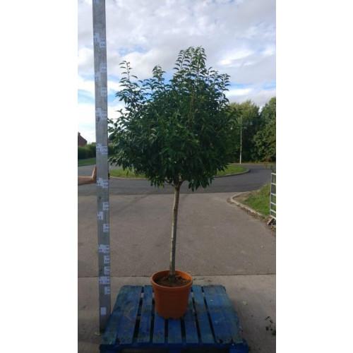 Prunus Lusitanica ball on stem 210cm / 7ft including pot height (head dia 70/80cm)