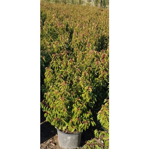 Hedging Prunus Lusitanica 80-100cm Potted