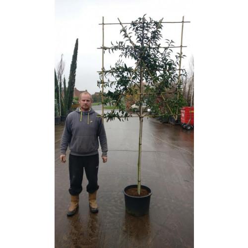 Portuguese Laurel Pleached ''Prunus Lusitanica'' 1.2m stem (10-12cm girth) 120cm high x 120cm wide trellis