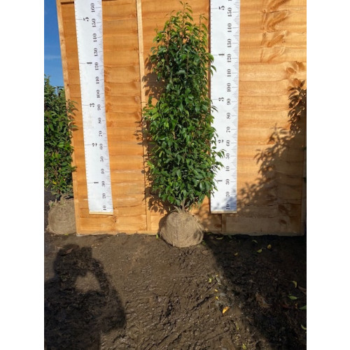 Hedging Prunus Lusitanica rootballed 120 - 150cm plant height - AVAILABLE NOW