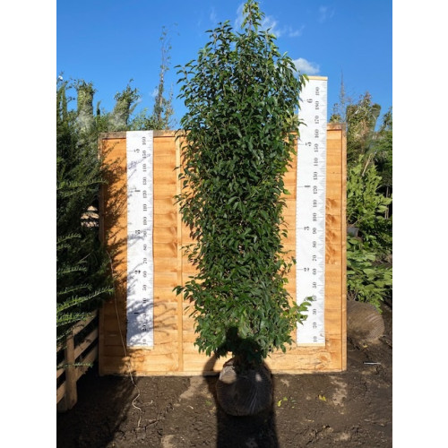 Hedging Prunus Lusitanica rootballed 200 - 225cm plant height - AVAILABLE NOW