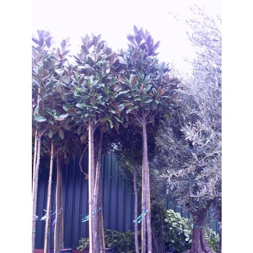 Magnolia Grandiflora Gallisoniensis std 11ft.6''-13ft including pot height 2 meter stem 16/18cm girth 70-80cm head