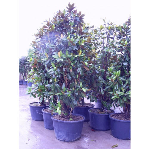 Magnolia Grandiflora Gallisoniensis 10ft includes pot height