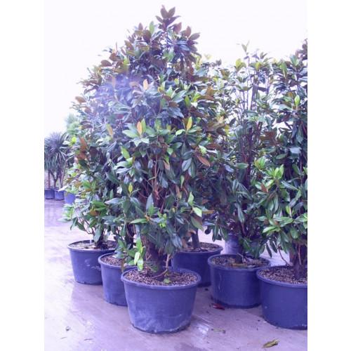 Magnolia Grandiflora Gallisoniensis 11-12ft includes pot height