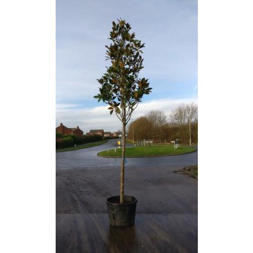 Magnolia Grandiflora Gallisoniensis std 12-13ft including pot height 1.6 meter stem 14/16cm girth 70-80cm head