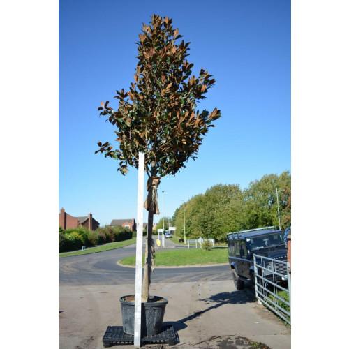 Magnolia Grandiflora Gallisoniensis std 5.5-6m / 18-20ft including pot height (200-220cm stem 20/25cm girth)