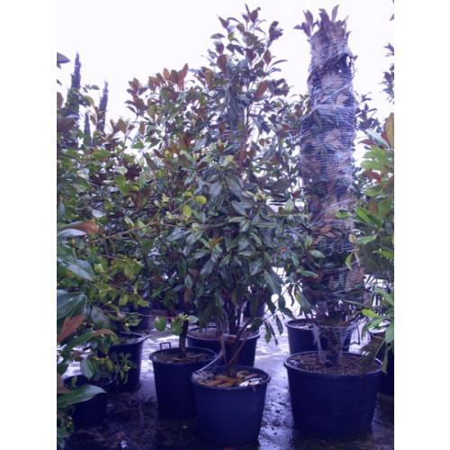 Magnolia Grandiflora Gallisoniensis 8ft - 9ft including pot height
