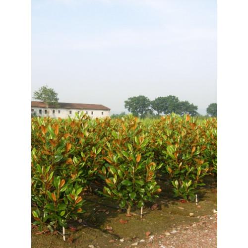 Magnolia Grandiflora Gallisoniensis 6ft including pot height