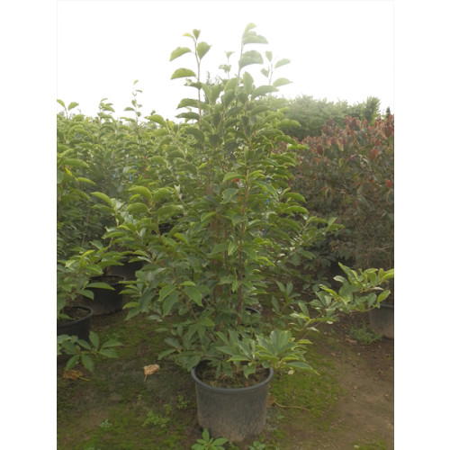 Magnolia Soulangeana 175-200cm (6-6ft 6 inches) - SOLD OUT - TAKING ORDERS FOR SUMMER 2021