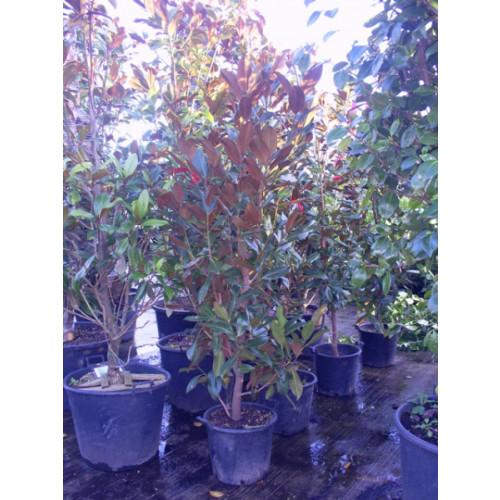 Magnolia Grandiflora Gallisoniensis 7ft including pot height