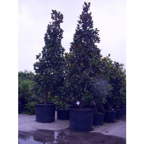 Magnolia Grandiflora Gallisonensis 335-365cm / 11 - 12ft  inc pot