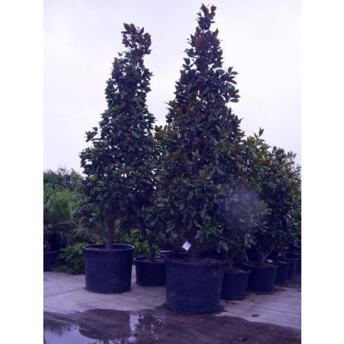 Magnolia Grandiflora Gallisonensis 335-365cm / 11 - 12ft  inc pot